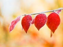 Первый заморозок на листьях красного цвета в осени Стоковая Фотография