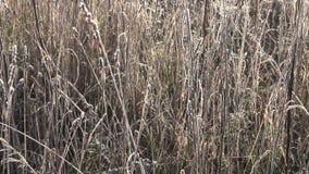 Первый заморозок осени на траве луга в солнечном свете осени акции видеоматериалы
