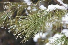 первый снежок Ветвь сосны в падениях воды стоковые изображения rf