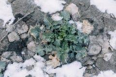 Первый снежок на зеленом поле canola Стоковое Изображение RF