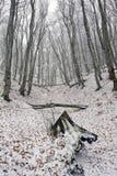 первый снежок пущи Стоковое фото RF
