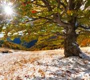 первый снежок пущи Стоковая Фотография RF