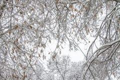 первый снежок Снег шелушится в воздухе Белые ветви на деревьях Зима Стоковое Изображение