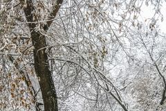 первый снежок Снег шелушится в воздухе Белые ветви на деревьях Зима Стоковое Фото
