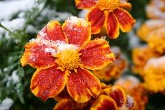 первый снежок Цветки в снежке Стоковая Фотография