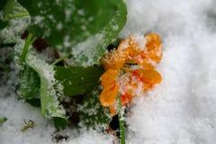 первый снежок Цветки в снежке Стоковое Фото