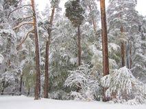 первый снежок Стоковые Изображения RF