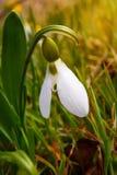 Первый цветок весны, белое snowdrop в лесе Стоковые Фото