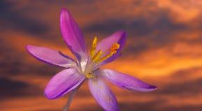 Первый цветок крокуса в весеннем времени стоковое изображение rf