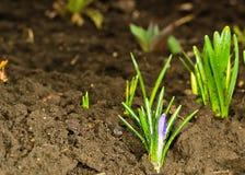 Первый floweret весны после дождя. Стоковая Фотография