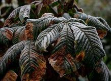 Первый Frost на листьях осени стоковое фото