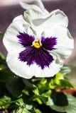 Первый pansy весны Стоковое Фото