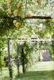 Пергола желтых banksiae взбираясь розы, селективный фокус Стоковые Фотографии RF