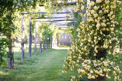 Перголы banksiae взбираясь розы в саде весной Стоковое Изображение RF
