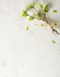 Перевязанные ветви с бутонами и листьями на белизне желтый цвет весны лужка одуванчиков предпосылки полный Стоковое Изображение