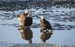 Переговоры белоголового орлана Стоковое Изображение