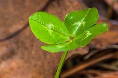 Передний клевер макроса 4-Leaf Lit стоковое фото
