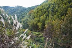 Передний план с бамбуковыми деревьями на наклонах тростников стоковая фотография rf