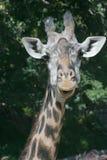 передний giraffe Стоковые Фото