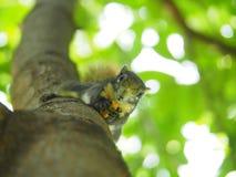 Передняя грань белки на дереве есть фасоли Оно ` s малое и милое Стоковые Фотографии RF