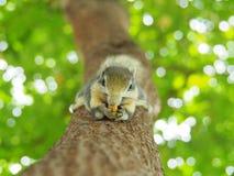 Передняя грань белки на дереве есть фасоли Оно ` s малое и милое Стоковое Фото