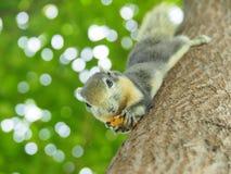 Передняя грань белки на дереве есть фасоли Оно ` s малое и милое Стоковые Изображения RF