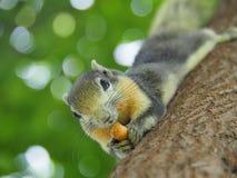 Передняя грань белки на дереве есть фасоли Оно ` s малое и милое Стоковое Изображение