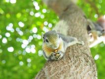 Передняя грань белки на дереве есть фасоли Оно ` s малое и милое Стоковое Изображение RF
