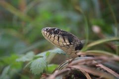 передняя змейка травы стоковая фотография rf