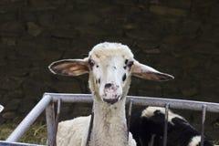 Передняя съемка белых овец в укрытии Стоковые Фотографии RF