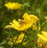 Передняя съемка пчелы на цветке Стоковое Изображение