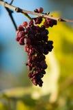 Перезрелая виноградина Стоковые Фотографии RF