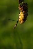 Перезрелая виноградина Стоковое Фото