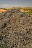 Перекати-поле Kali, заводы аллергенов стоковые изображения