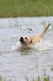 перекрестное река labrador собаки стоковое фото rf