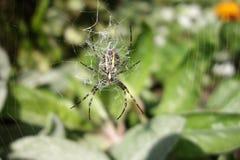 Перекрестный паук, паук, паук леса Стоковые Изображения RF