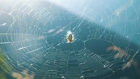 Перекрестный паук соткет сеть на солнечный день в природе летом видеоматериал