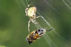 Перекрестный паук с его добычей пчела есть спайдер Стоковые Изображения RF