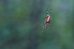 Перекрестный паук тройника в своей сети Стоковое Фото