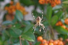 Перекрестный паук Стоковое фото RF