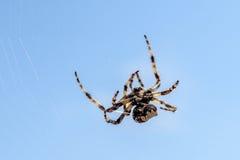 Перекрестный паук (diadematus) Araneus - паук сада на spiderw Стоковая Фотография
