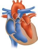 перекрестный раздел иллюстрации сердца Стоковое фото RF