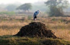 Перелетная птица: Серая цапля стоковое фото