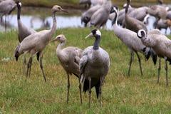 Перелетные птицы в птичьем заповеднике Hula стоковые фотографии rf