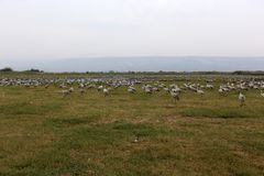 Перелетные птицы в птичьем заповеднике Hula стоковые изображения rf
