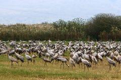 Перелетные птицы в птичьем заповеднике Hula стоковая фотография