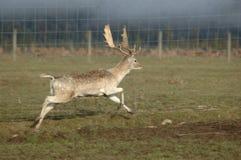 перелог оленей самеца оленя Стоковая Фотография RF