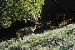 перелог оленей Стоковые Фотографии RF