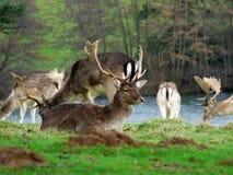перелог оленей Стоковые Изображения RF