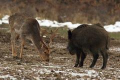 перелог самеца оленя голодный Стоковая Фотография